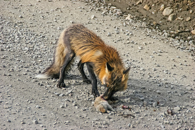 Red Fox - Denali NP, Alaska