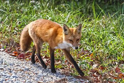Red Fox - Bombay Hook NWR, Delaware