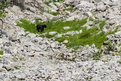 Black Bear - Chilkat Bald Eagle Preserve, Alaska