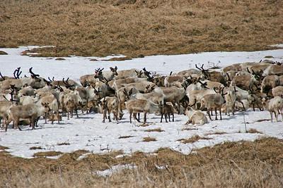 Reindeer Herd, St. Paul's Island, Alaska