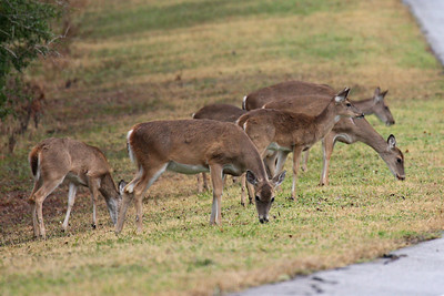 White-tail Deer - Brazos Bend SP, Texas