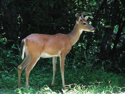 White-tail Deer, Texas