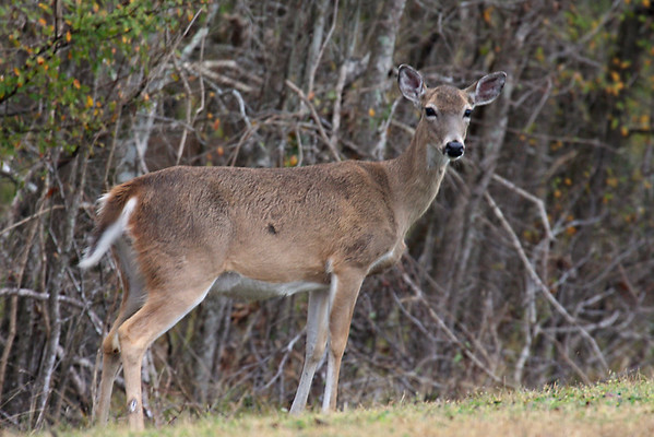 White-tail Deer - Texas