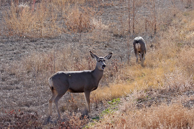 Mule Deer - Bosque del Apache NWR, NM