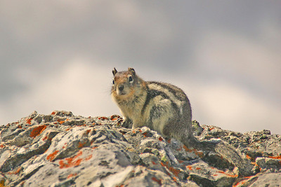 Golden-mantled Ground Squirrel -Banff NP, Canada