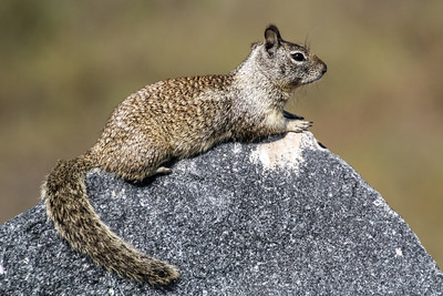 California Ground Squirrel - San Diego, CA