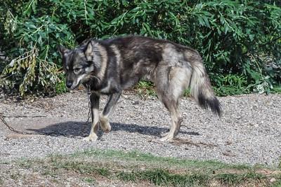 Alaskan Husky Sled Dog - Denali NP , Alaska