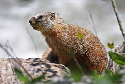 Yellow-bellied Marmot - Utah