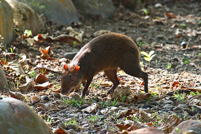 Central American Agouti - Gamboa Rainforest Resort, Panama