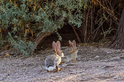 Desert Cottontail - Tuscon, Arizona