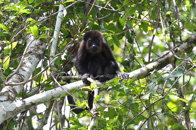 Mantled Howler Monkey - Panama