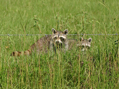 Raccoons - Baytown, TX