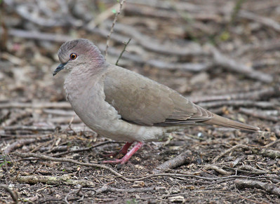 White-tipped Dove - Frontera Audubon Sanctuary, Weslaco, Texas