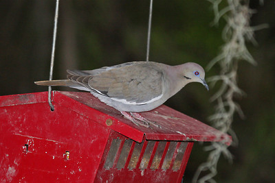 White-winged Dove - Bentsen Rio Grande State Park, Mission, Texas