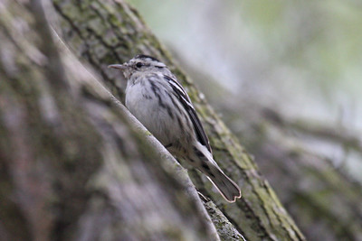 Black and White Warbler - Frontera Audubon Sanctuary, Weslaco, Texas