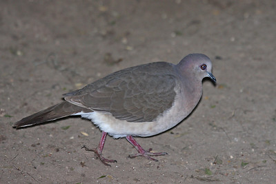White-tipped Dove - Bentsen Rio Grande State Park, Mission, Texas
