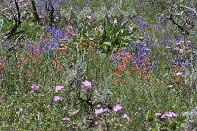 Wildflowers - Deseret Ranch