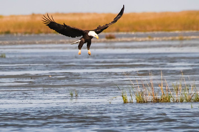 Bald Eagle Swoops In to Grab Dunlin from Water