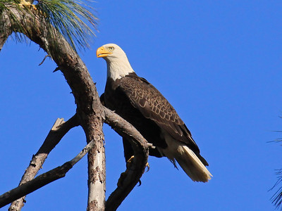 Bald Eagle (M) - Jan. 21, 2010