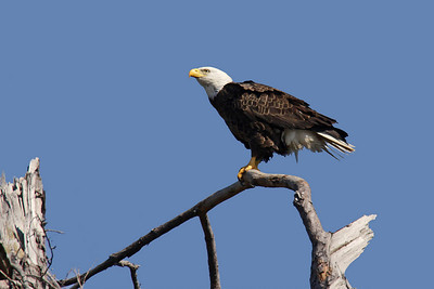 Bald Eagle (F) - Feb. 24, 2010