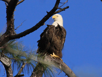 Bald Eagle (F) - Jan. 21, 2010