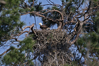 Bald Eagle - Feb. 24, 2010