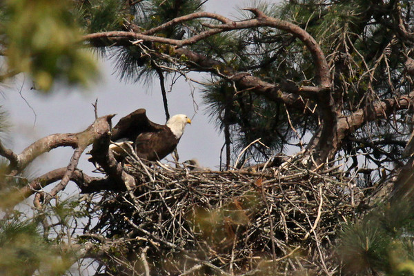 Bald Eagles - March 22, 2010
