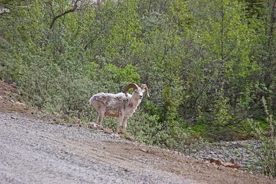Dall's Sheep - Danali NP, Alaska