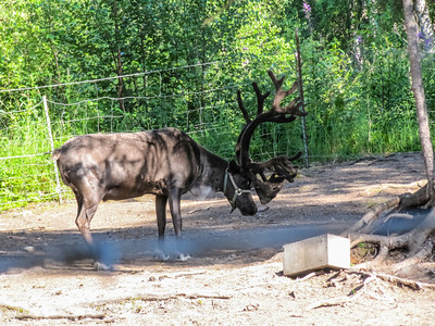 Reindeer - Copper River, Alaska