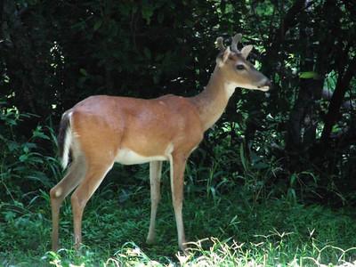 White-tail Deer, Texas