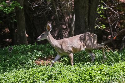White-tailed Deer, Arizona