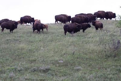 American Bison - North Dakota