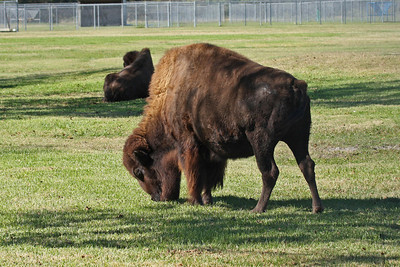 American Bison - Texas