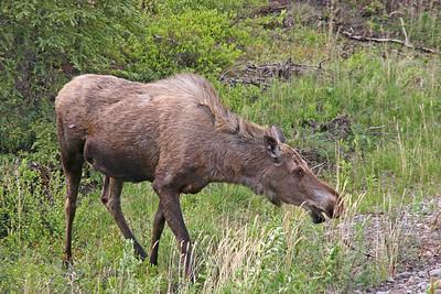 Moose- Near Danali NP, Alaska