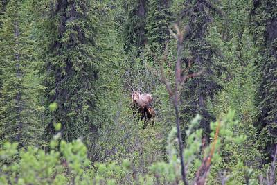 Moose with Calf, Danali Highway, Alaska