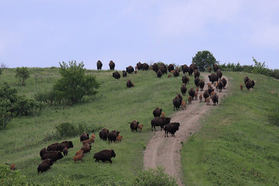 American Bison - North Dakota