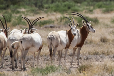 Scimitar-horned Oryx - Uvalde, Texas
