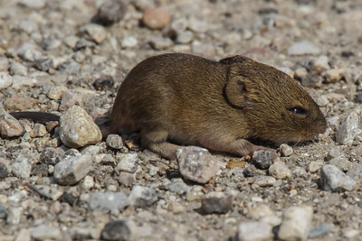 Field Mouse - TX