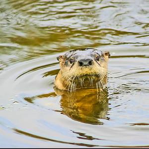 River Otter - Anahuac NWR, TX