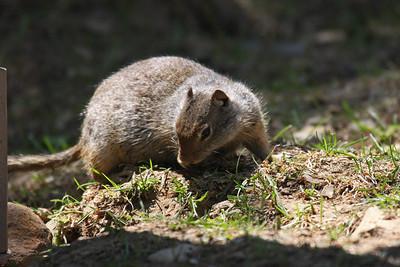 Rock Squirrel - Utah