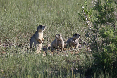 White-tailed Prairie Dogs - Utah