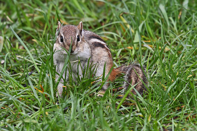 Eastern Chipmunk - Minnesota