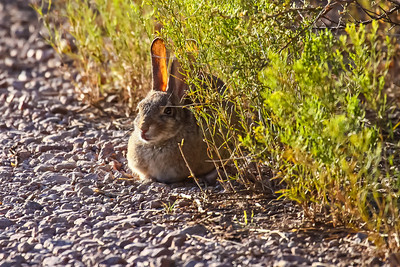 Desert Cottontail, Arizona