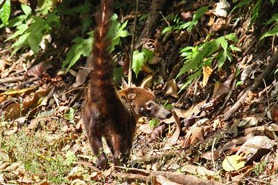 Central American Coati - Panama