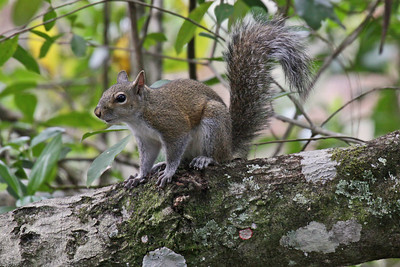 Eastern Gray Squirrel, Florida