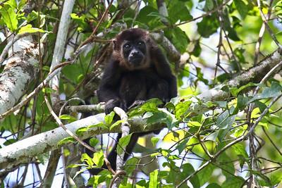 Mantled Howler Monkey - Panama