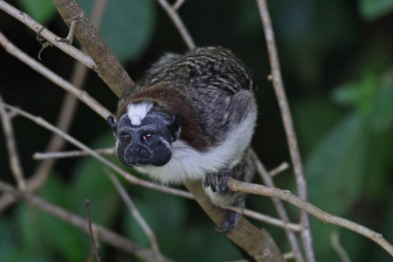 Geoffroy's Tamarin Monkey - Panama