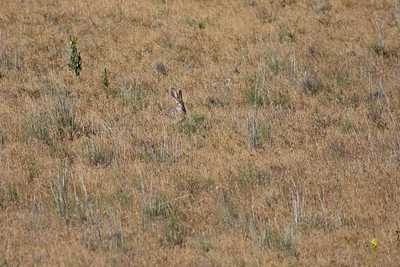Black-tailed Jackrabbit - Utah
