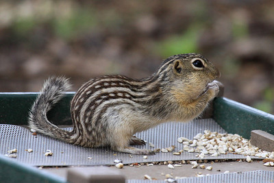 Thirteen-lined Ground Squirrel -  North Dakota
