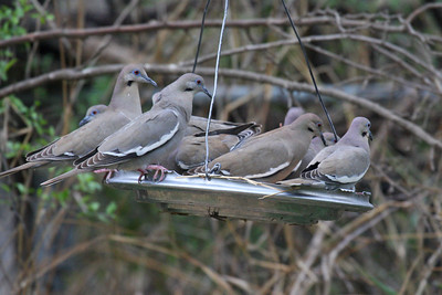 White-winged Dove - Salineno, TX